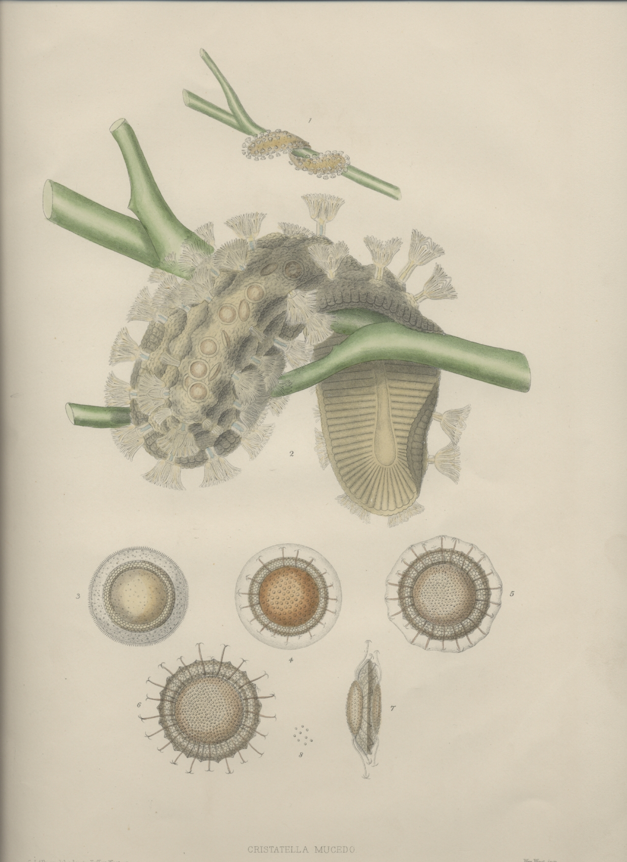 A monograph of the fresh-water polyzoa - plate 1