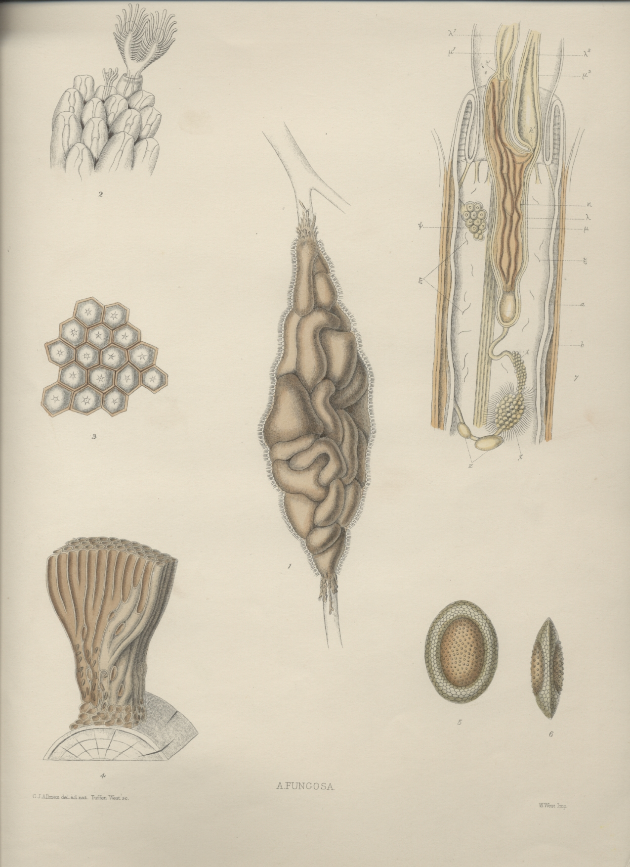 A monograph of the fresh-water polyzoa - plate 3