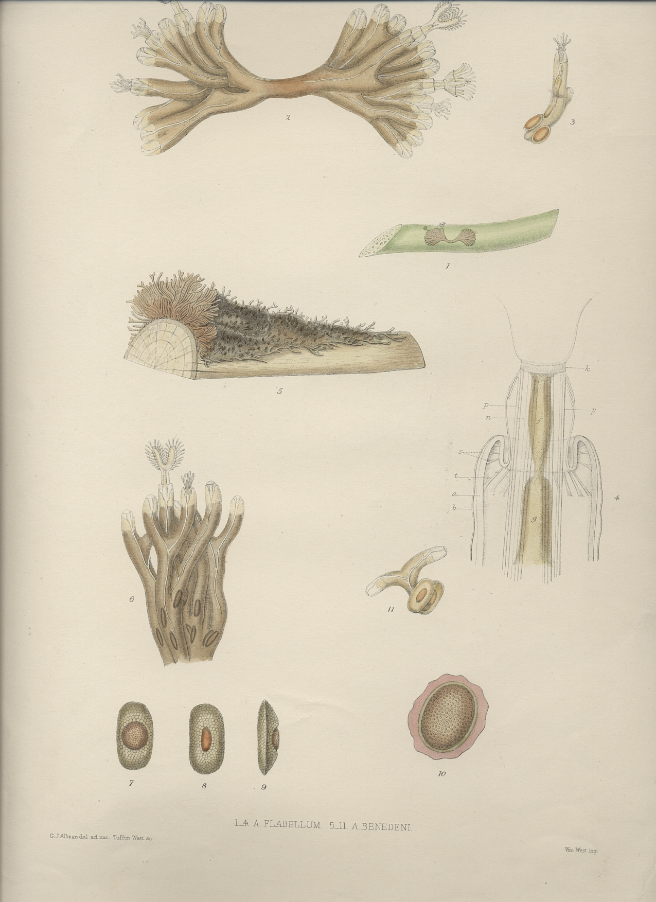 A monograph of the fresh-water polyzoa - plate 4