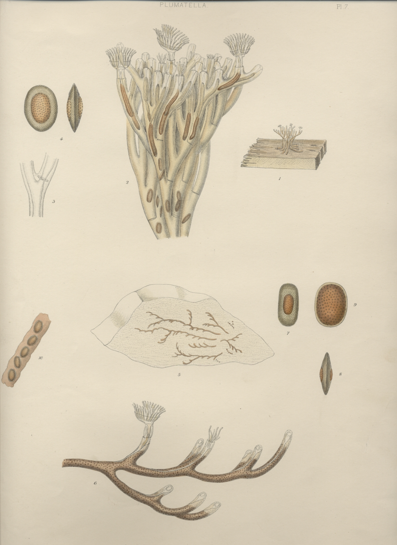 A monograph of the fresh-water polyzoa - plate 7