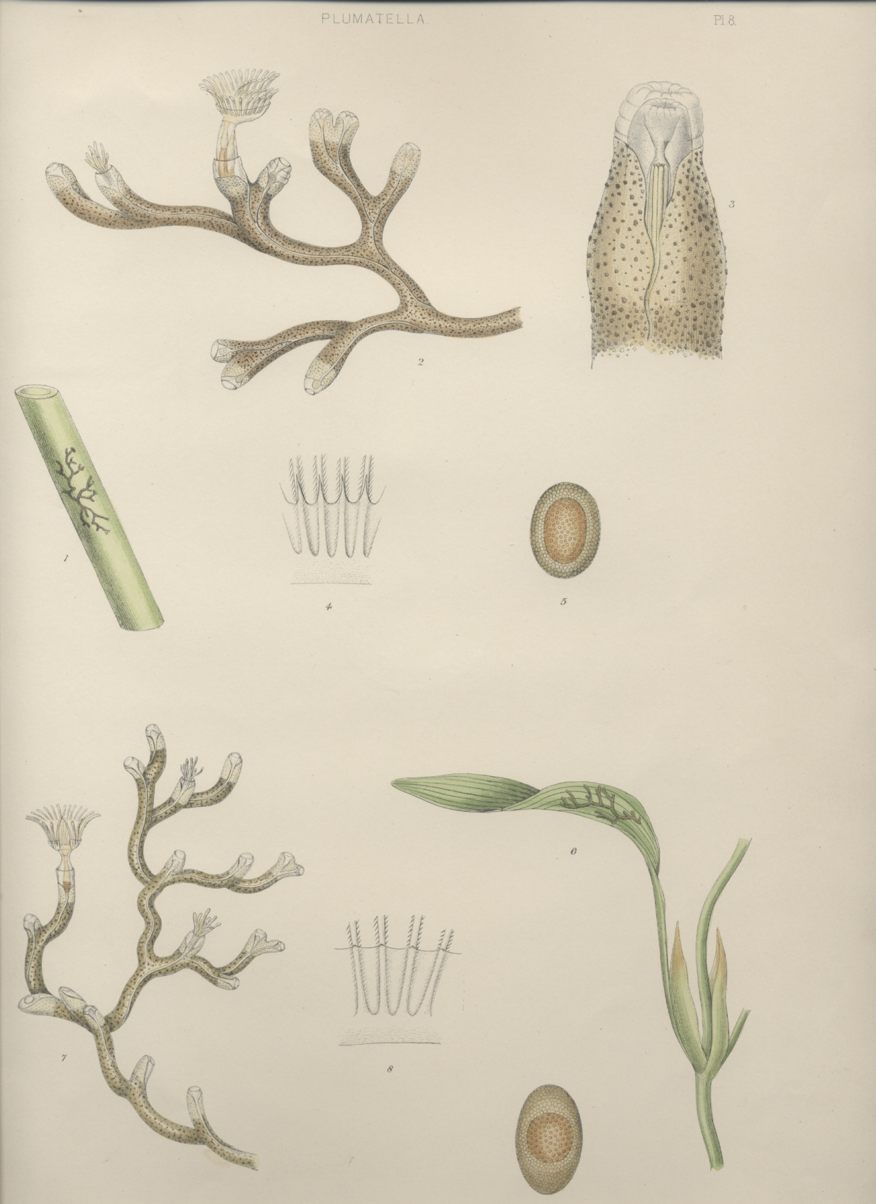A monograph of the fresh-water polyzoa - plate 8
