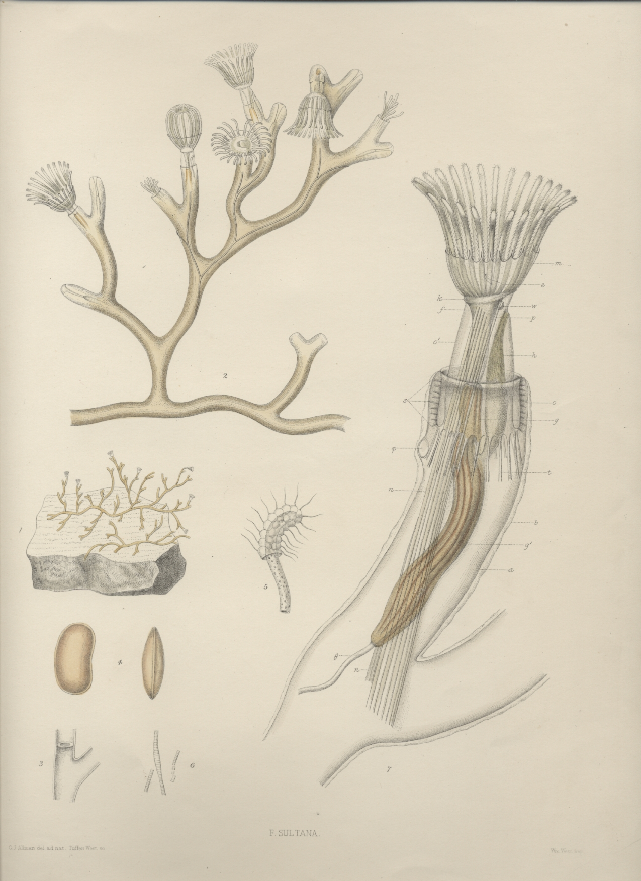 A monograph of the fresh-water polyzoa - plate 9